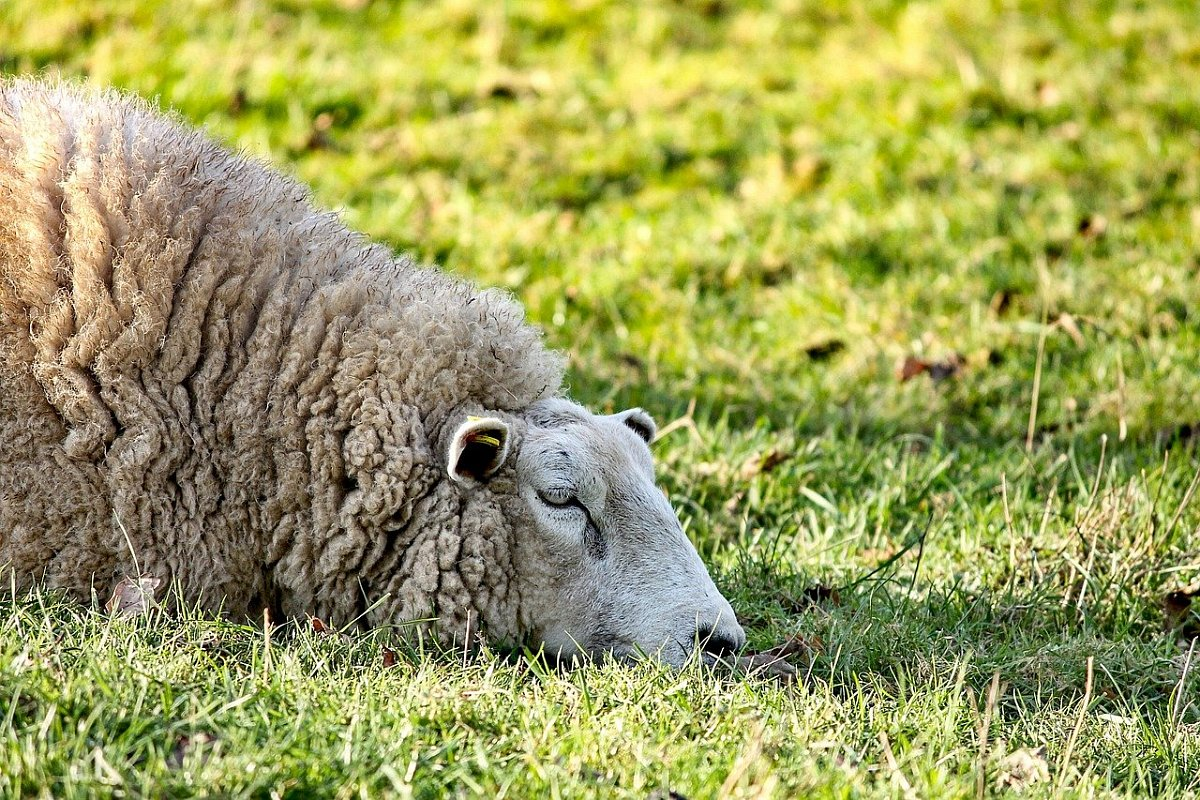 'On New Year's Day, we lost four ewes in one attack'
