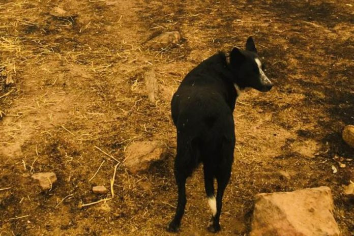 VIDEO: Dog saves sheep flock from Australian wildfires