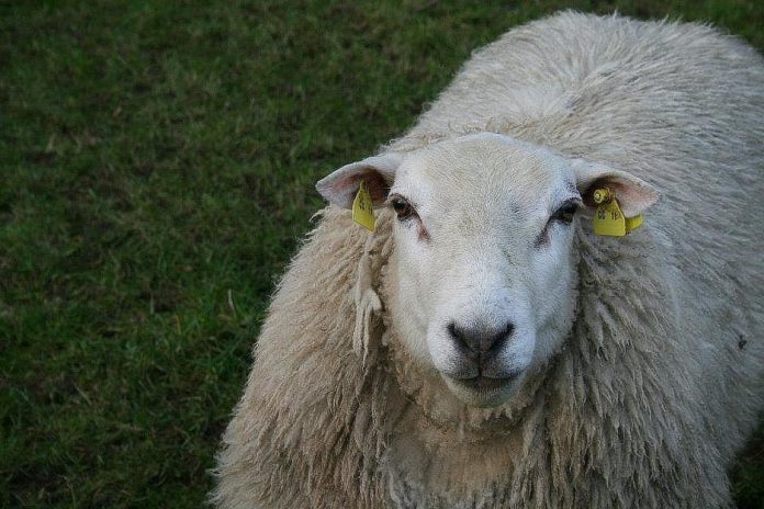 When will year 4 of the Sheep Welfare Scheme commence?