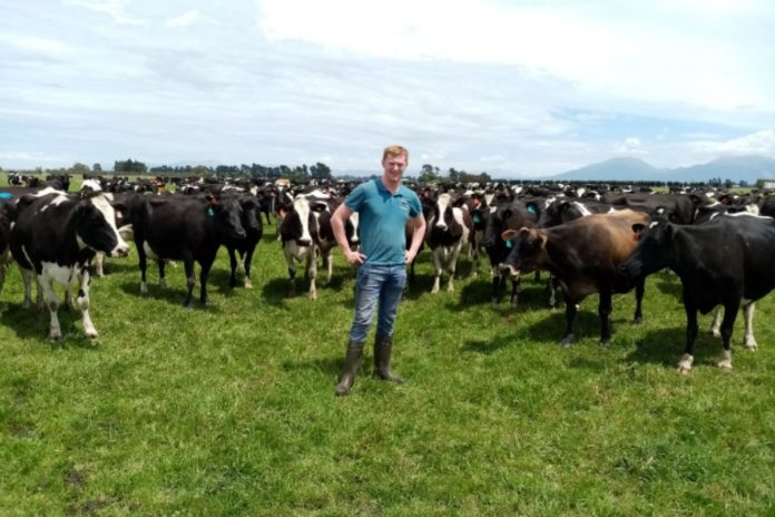Working on an 800-cow dairy farm in New Zealand