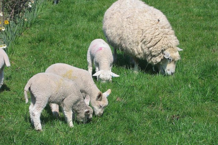 'Clipping charges on category B lambs are wrong'