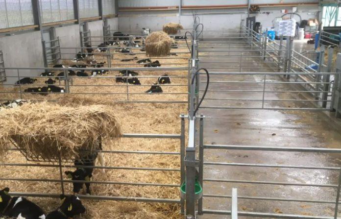 VIDEO: Labour-saving calf rearing facilities