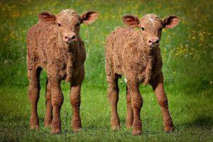 calving, beef farmers, calves, CalfCare Virtual Week