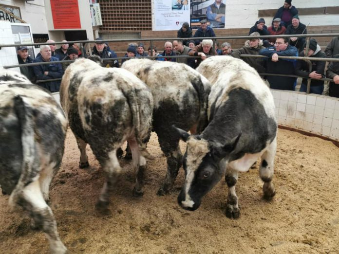 Brisk' trade at Baltinglass Mart's 45th annual show and sale of males