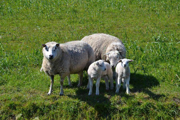 Sheep, sheep farming, sheep farmers, sheep prices