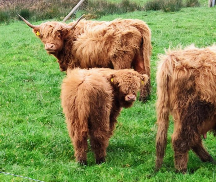 Highland cattle breed