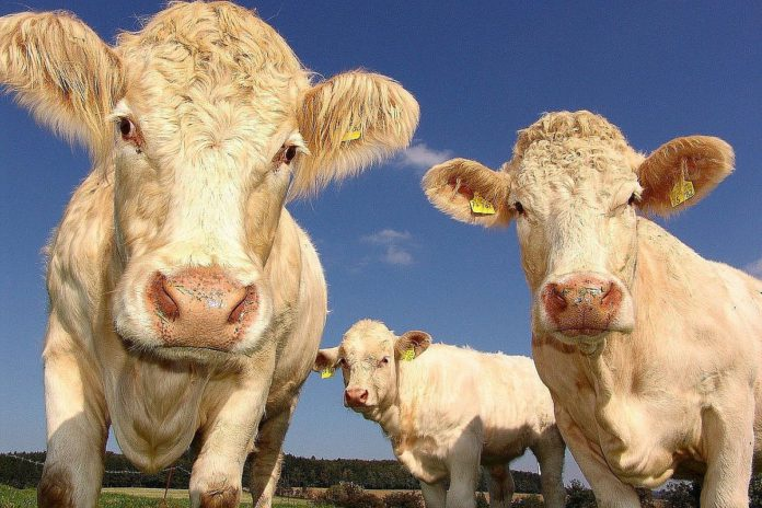 Beef, beef prices, beef farming, beef farmers, beef quotes