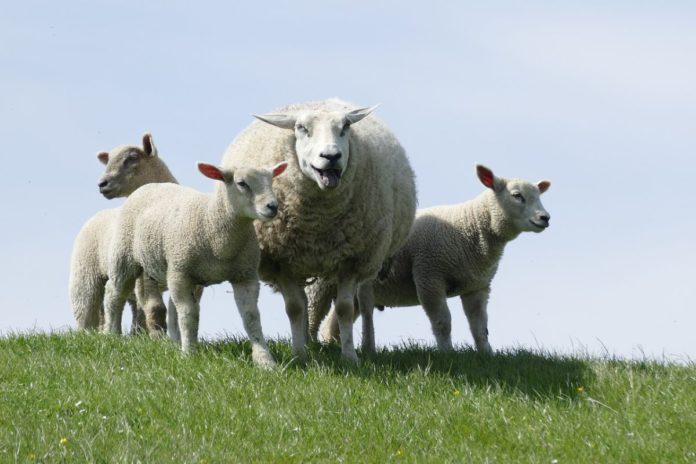Sheep, sheep farming, sheep farmers, farming news, Sheep Welfare Scheme