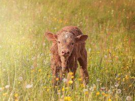 calf, farming news