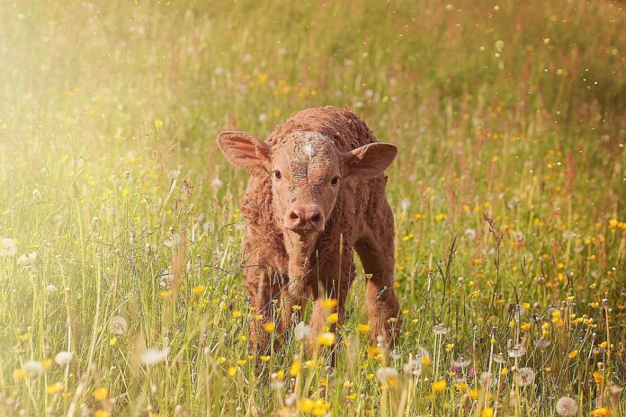 calf, farming news