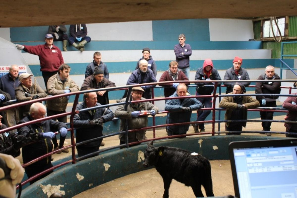 Kanturk Mart, cattle prices, mart reports, mart prices