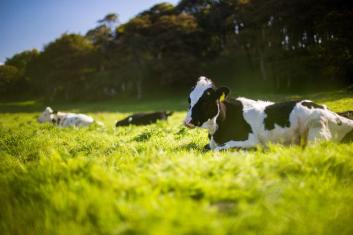 Dairy cows, dairy farming,
