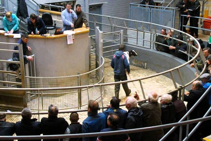 Viewing Gallery - Mart Farmers bidding
