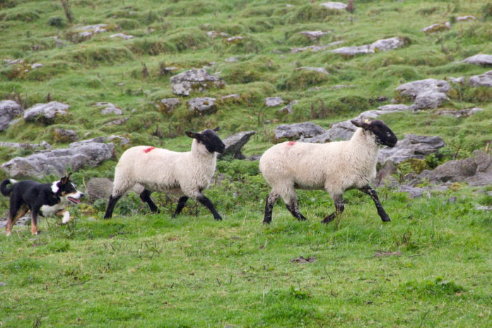 in-lamb ewes killed, sheep, sheep farming news