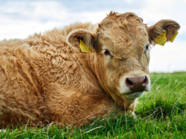 Beef prices, beef farming, beef factories, That's Farming, beef, farming news