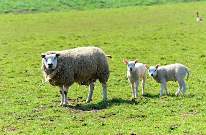 Sheep, sheep farming, sheep farming news