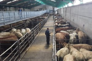 Ennis Mart, mart prices, mart reports, cattle, mart yard,