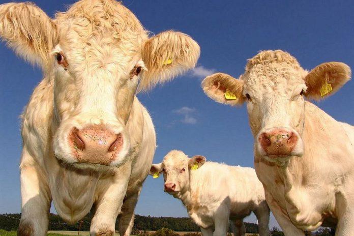 Cattle, Teagasc