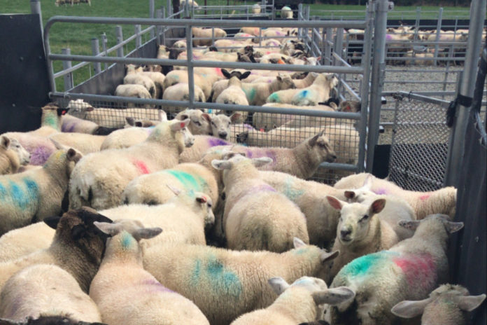 Factory prices and a new approach to dosing lambs