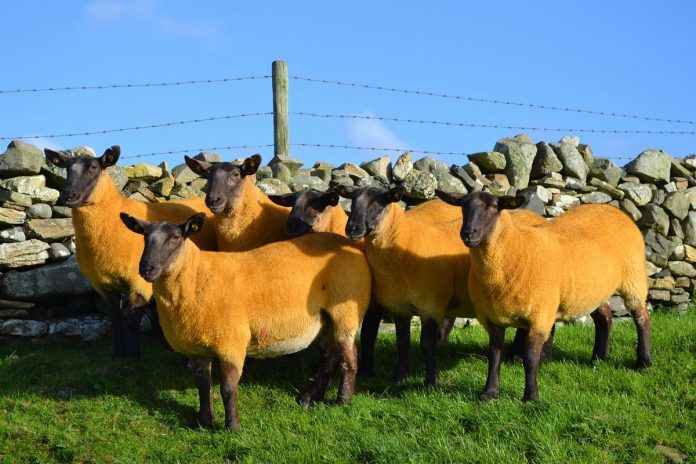 Donegal Cheviot sheep group's