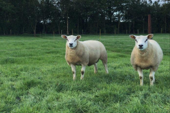 Purchasing two new Texel ram lambs