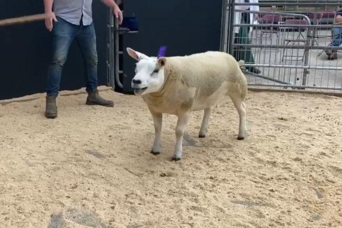 Sheep sale - record