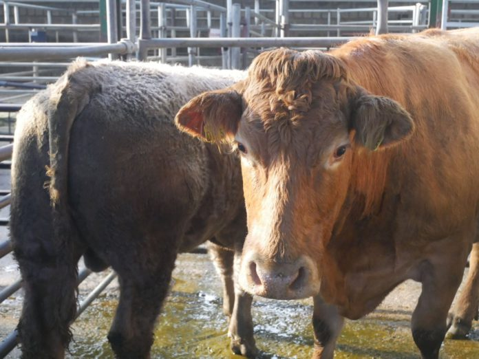 Blessington Mart - Cattle Prices