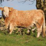 Martin O'Connor in-calf heifer sale 2020