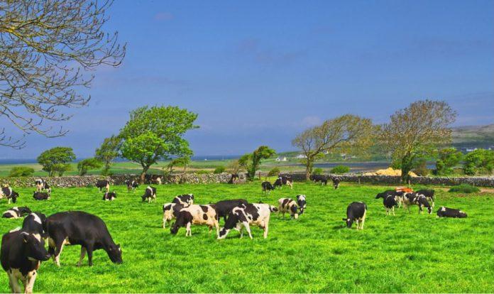 Dairy cows, grassland, cows
