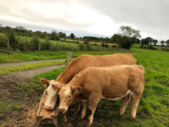 Win a Simmental cow and calf