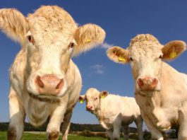Beef cattle, beef factory, beef prices, beef farmers, beef farming,