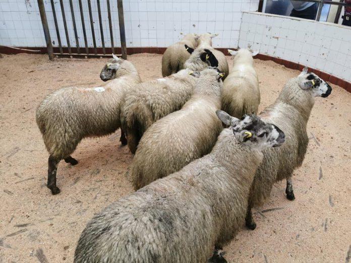Sheep prices, Baltinglass Mart, Mart Ring, Sheep farming