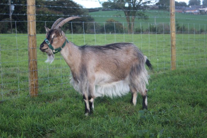 Rare Breeds Survival Trust (RBST) has added the Old English Goat, to its watchlist for the first time.
