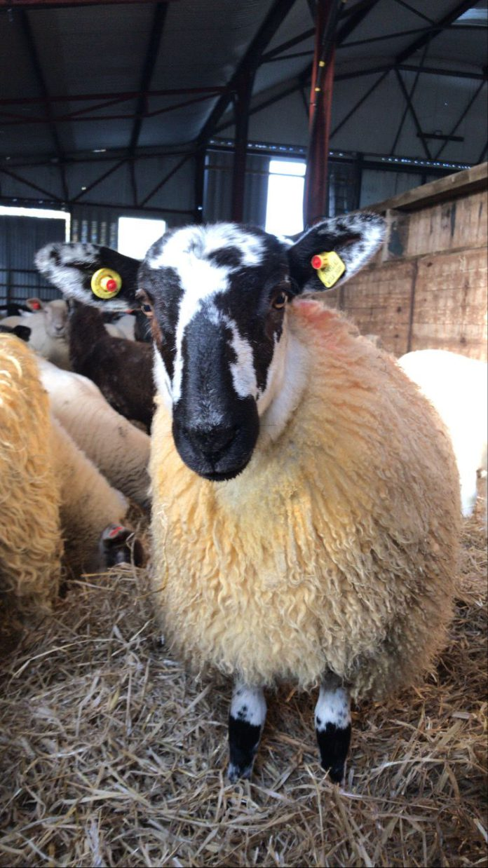 Farmer's Diary: Wexford sheep farmer Edward Earle writes about housing ewes, tupping, scanning and body condition score.