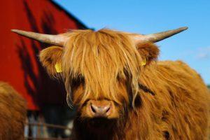 Highland cattle, Ireland,