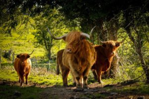 Michelle Shaughnessy, Highland cattle, Longford, cows, animals,