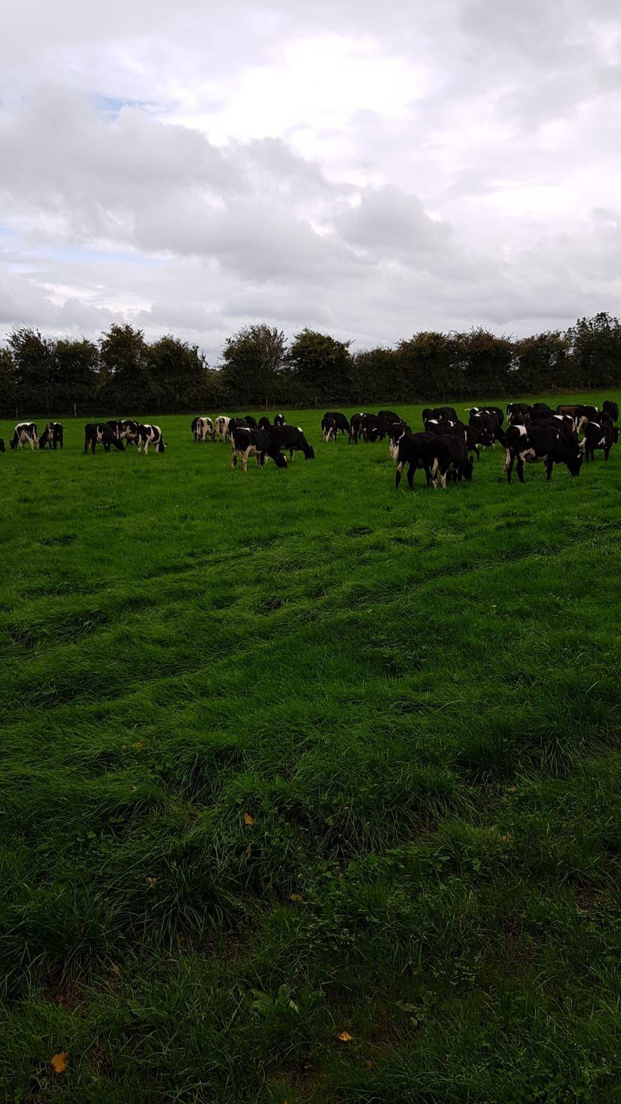Cows, grass