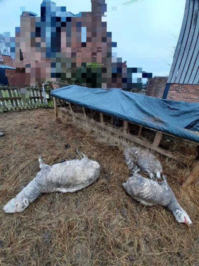Sheep, sheep farming, sheep killed, farming news, farming news UK, Cheshire,