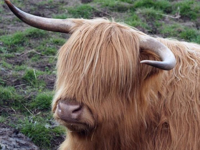Highland cattle, cows,