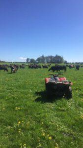 Dairy cows, dairy farming, farming news, field, large dairy herd, farm quad