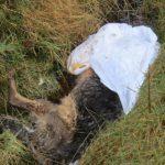 German shepherd dog, ditch, news,