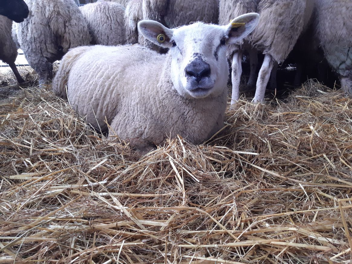 Sheep farmer, sheep farmer, Clodagh Hughes