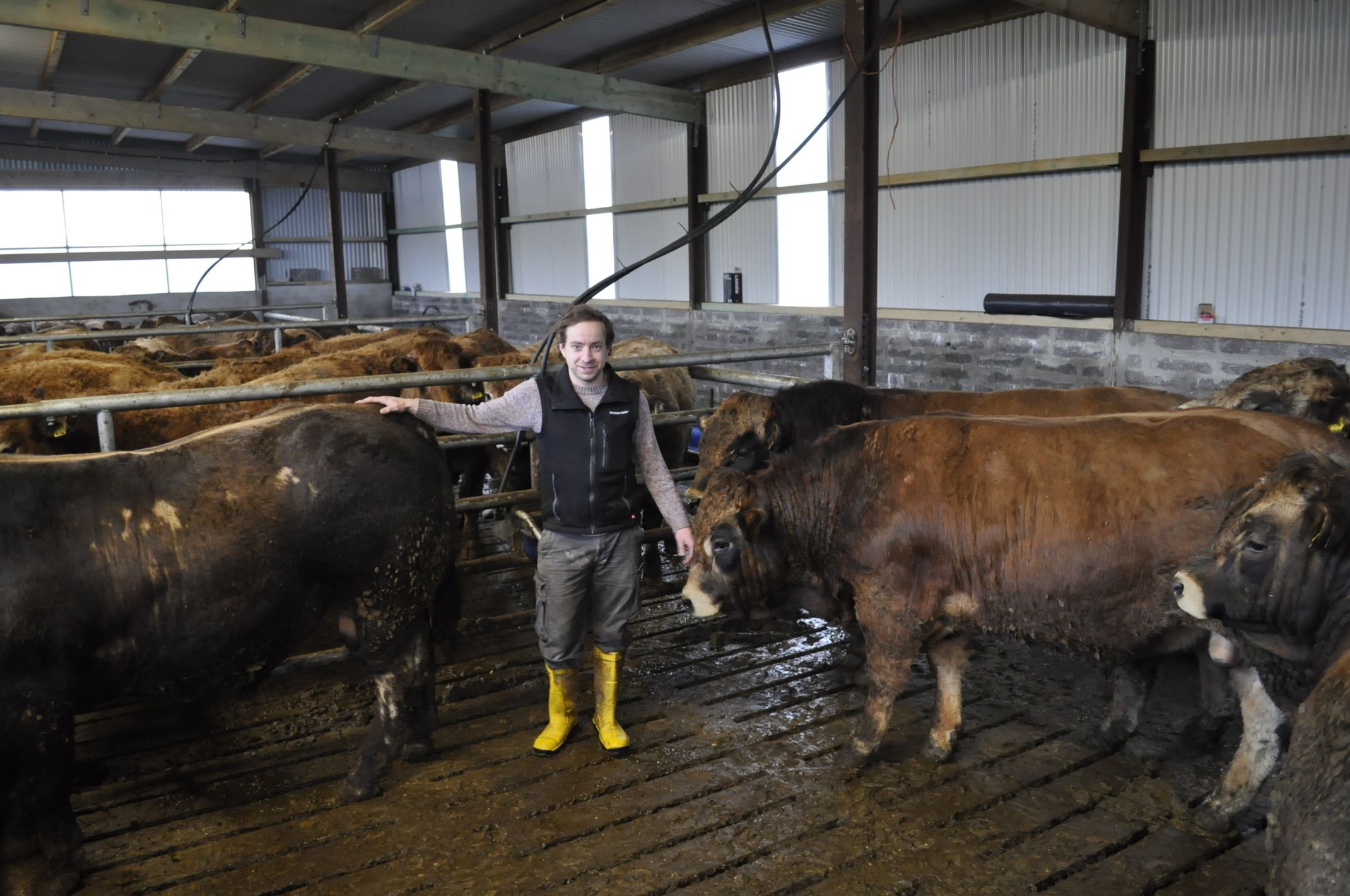 Aubracs, bulls, cattle, animals, livestock, Cork, shed