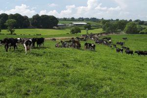 dairy cows, dairy herd, field, grassland management, Seán McMahon