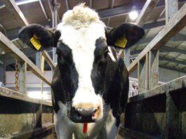Dairying Cow in footbath, digital dermatitis, dairy cows,