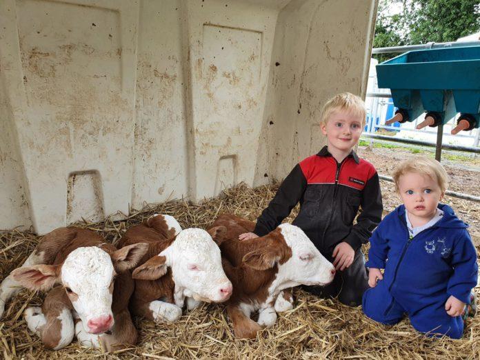 Flechvieh, triplet calves