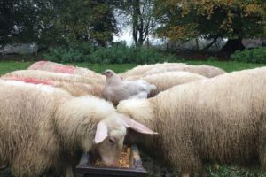 Sheep, sheep milk, Ballyhubbock Farm, milking sheep in Ireland