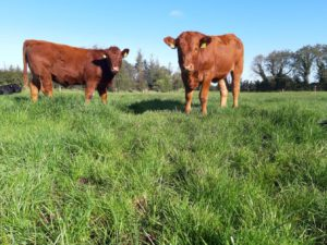 Stabilisers, grass, beef cattle, beef farming