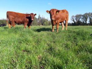 Stabilisers, grass, beef cattle, beef farming