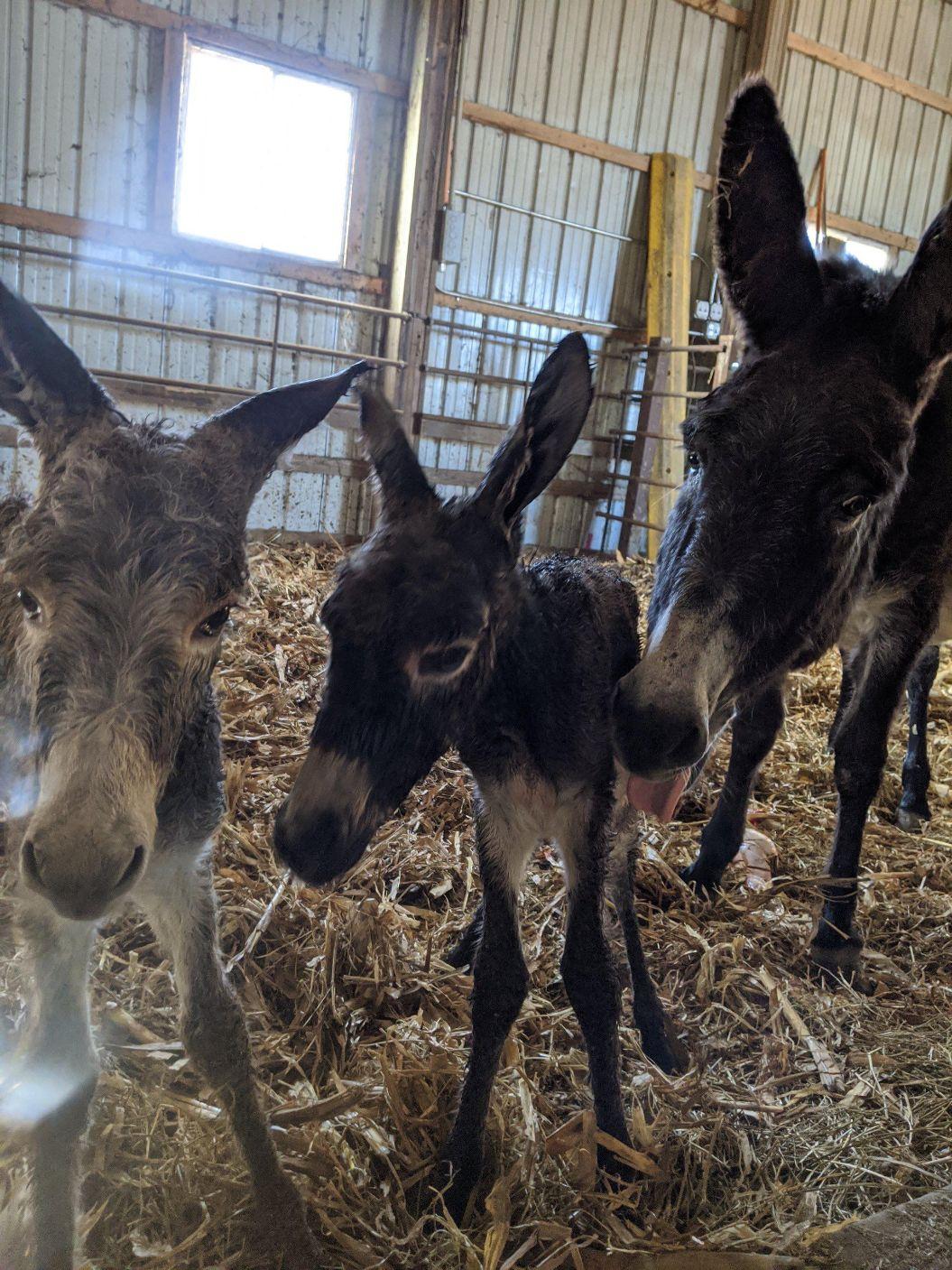 Twin donkeys, America, donkeys